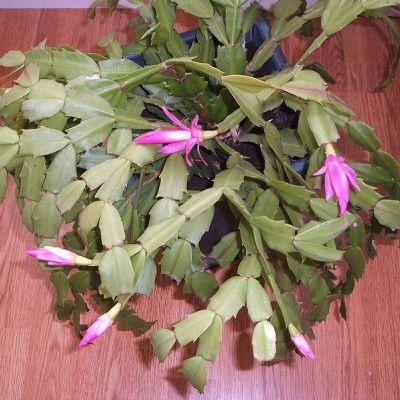 Grudnik Christmas Plants Plants Christmas Cactus