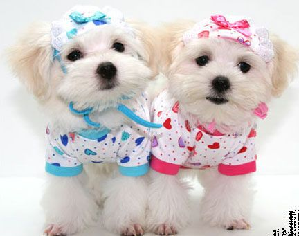 Cute Dogs In Dresses Cute Puppies In Dresses Two Cute White