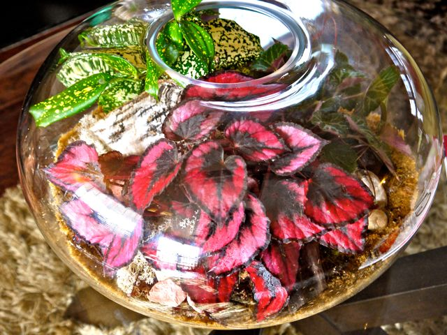 Rex Begonia Terrarium Begonia Amazing Flowers Indoor Outdoor Plants