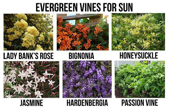 Blooming evergreen vines for sun in san diego garden for Evergreen climbing plants for privacy