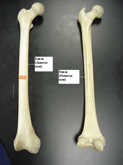 Femur Bone Diagram Google Search Human Anatomy Pinterest