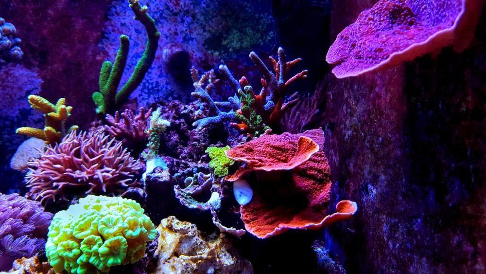 Red Slime Algae In Reef Tank Causes Solutions In 2020 Coral Reef Aquarium Reef Tank Reef Aquarium