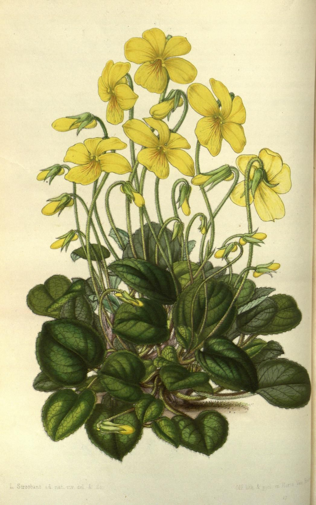 Viola pyrolæfolia