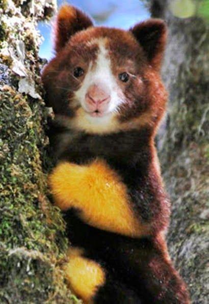 Dingiso - um canguru diferente - Dendrolagus mbaiso
