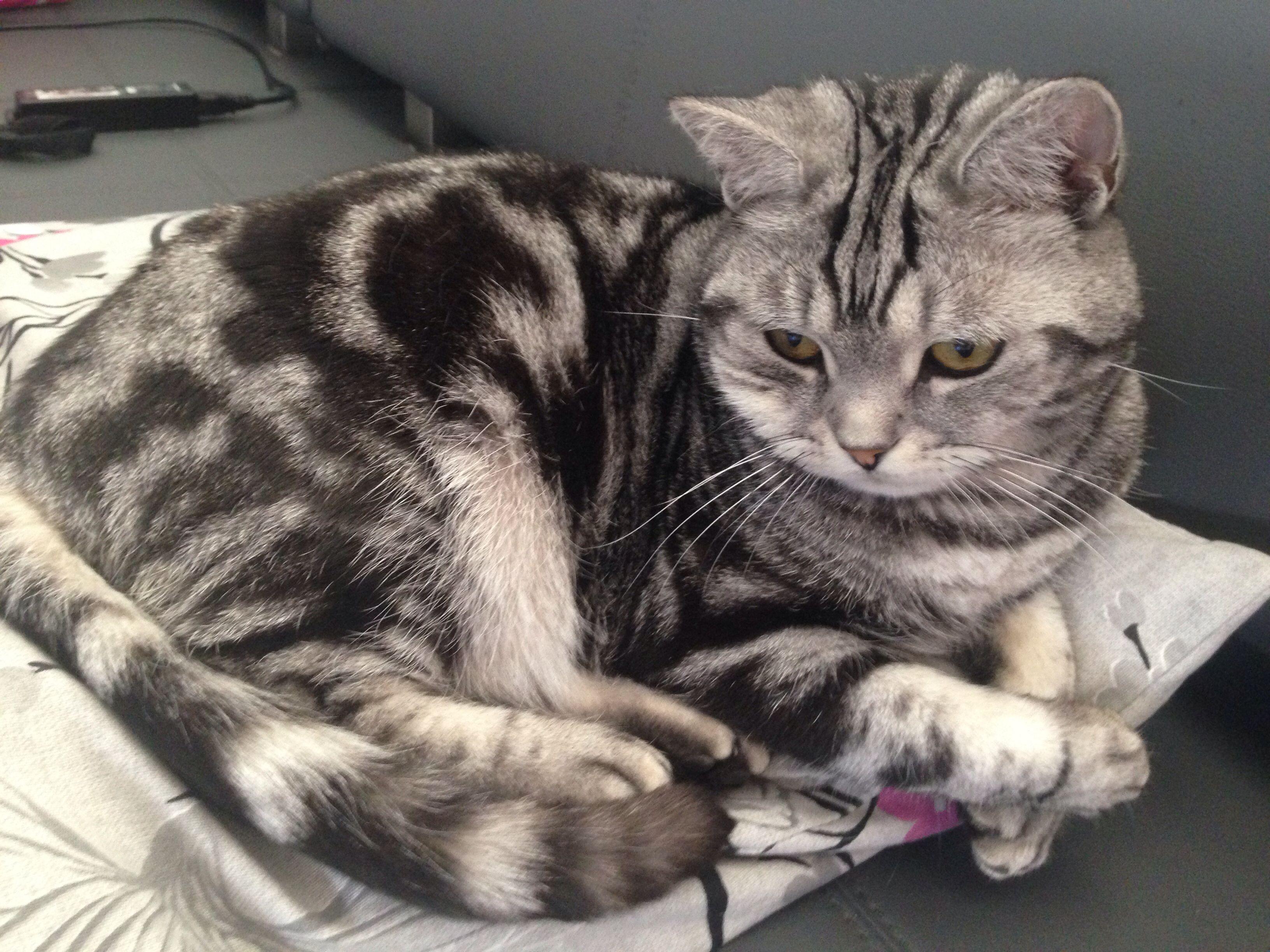 Brits Korthaar British Shorthair Kitten Cat Silver Tabby Blotched Brits Korthaar Katten Schattige Dieren