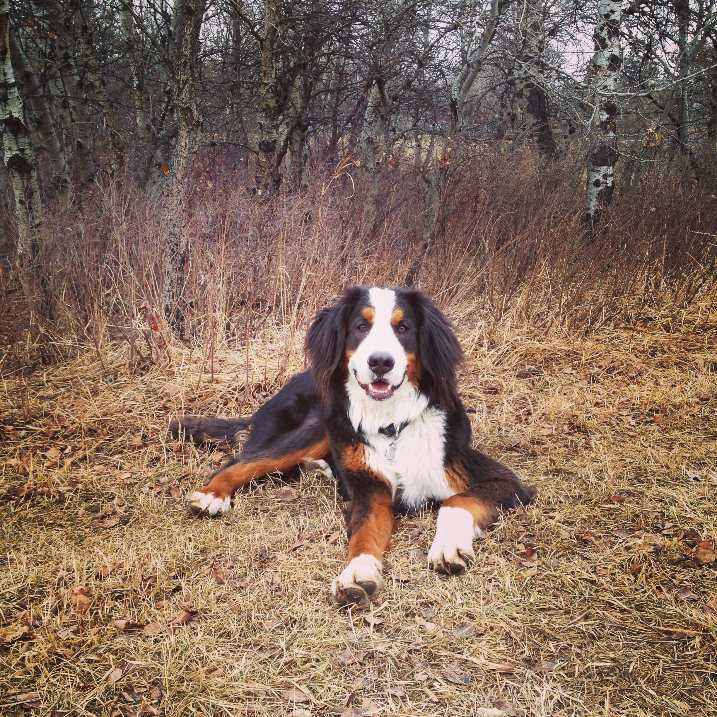 Spring Time Bran Almost A Year Old 3 Bernese Mountain Dog