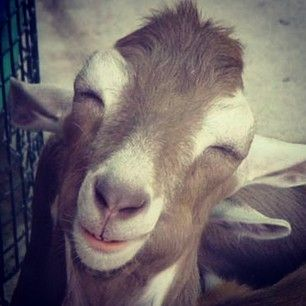 Song In My Heart Song In My Face Doodoodoooooo Goats Funny Smiling Animals Happy Goat