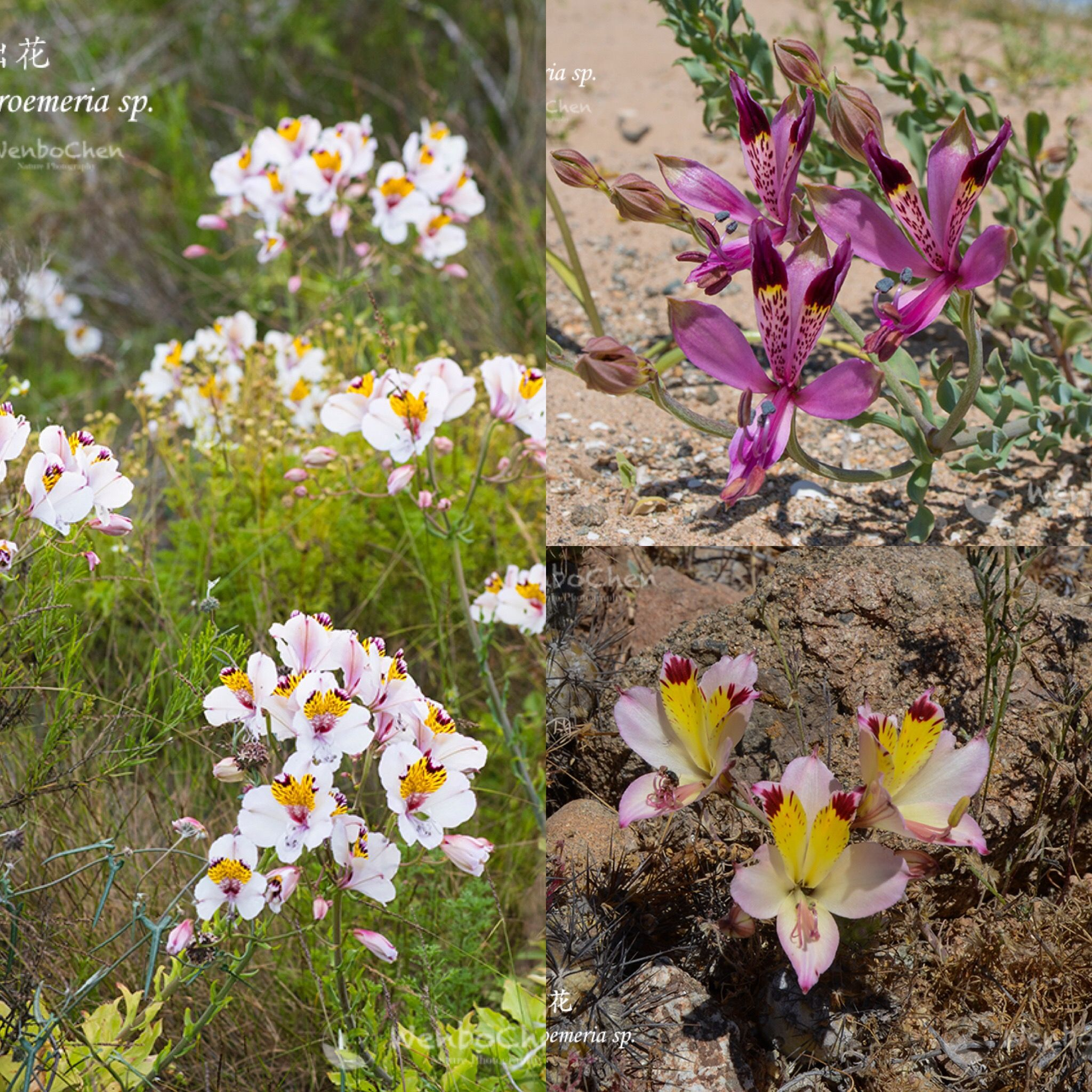Alstroemeria Species In Chile Oct 2017 Alstroemeria Flora Flowers