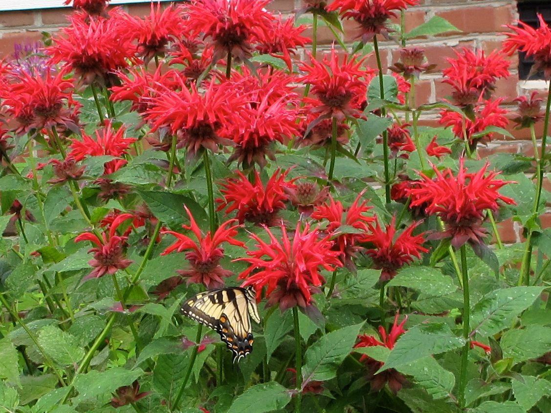 Monarda didyma - Beebalm. Perennial. Deciduous. Zones 4 - 6. 3' x 3'. US and GL Native. Part shade to full sun. Loam. Neutral. Moist. Erect form. Medium texture. Medium/dark green foliage. July August Red Pink Purple bloom. Butterflies. Bees.