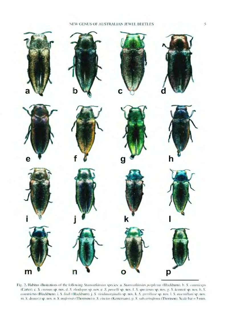 chart of Stanwatkinsius, a new genus of Australian jewel ...
