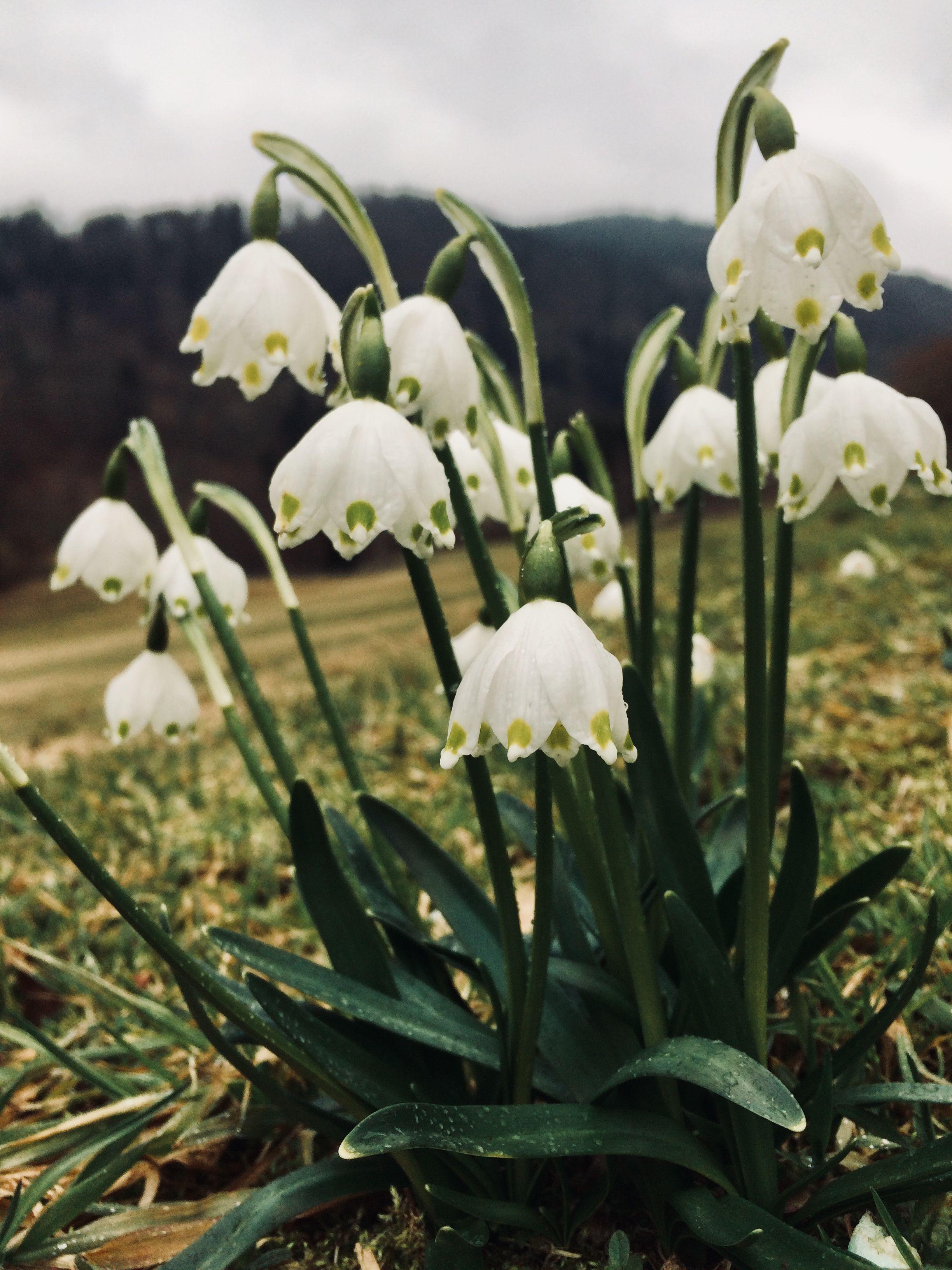 Ganz und zu Extrem Leucojum vernum / Märzenbecher; steht unter Naturschutz | Wilde &QI_65