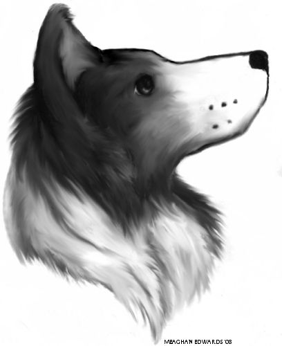 my first real attempt at drawing a border collie rejected as a image for furry paws image bank border collie