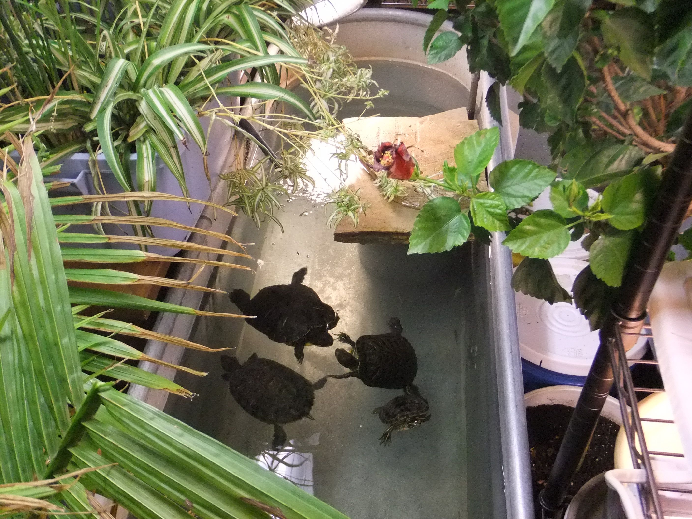 An indoor turtle pond turtle pond turtle and pond for Aquarium fish outdoor pond