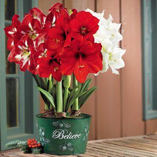50 Trio Christmas Flowers Bulb Flowers Amaryllis Bulbs