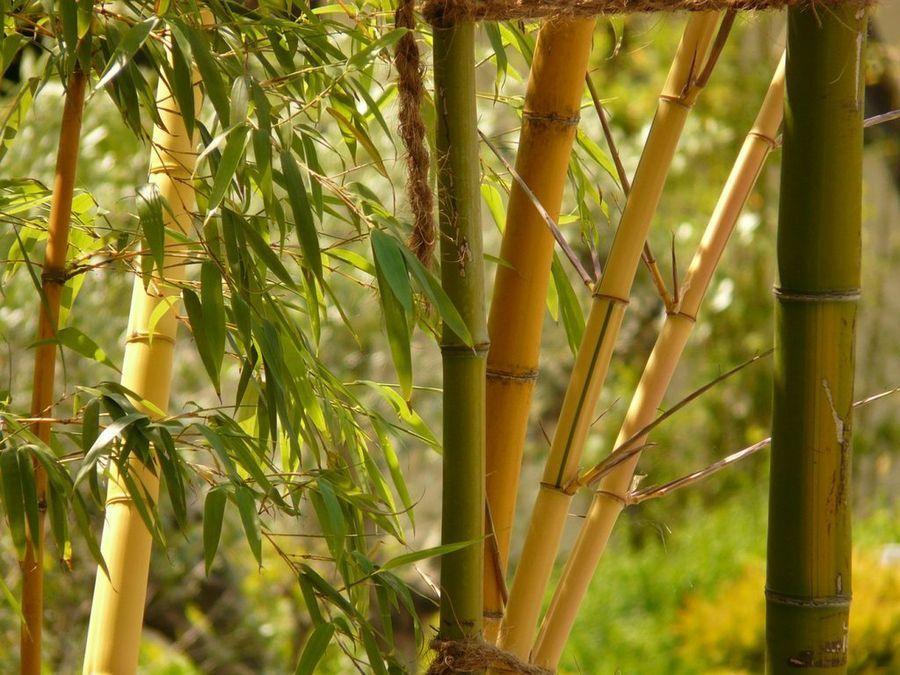 Conoces las propiedades del Bambú? Bambú, El nudo y Medicina natural - decoracion con bambu