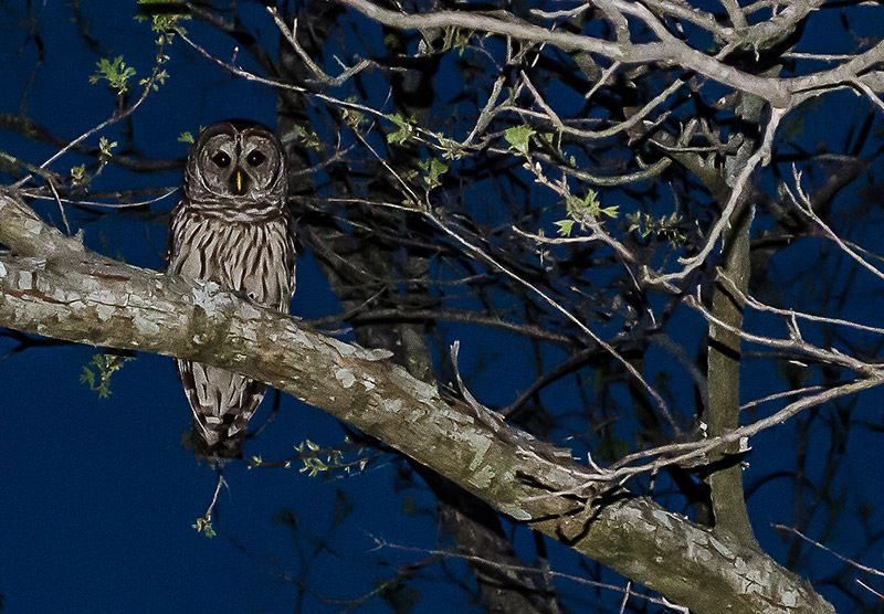 Whooo are you? She was eyeballing our cats last night for a meal.