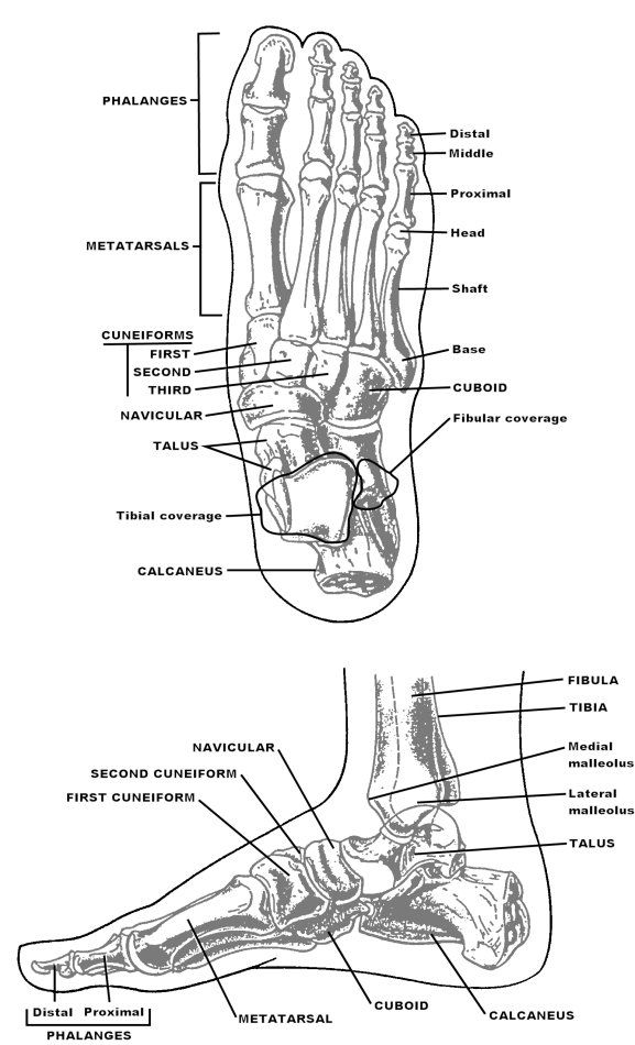 foot bone structure chart