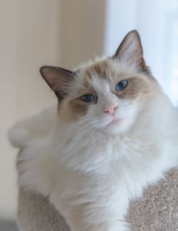 Ragdoll cats.   I'd love to have one.  I've seen two, and they were exactly as described in this post.