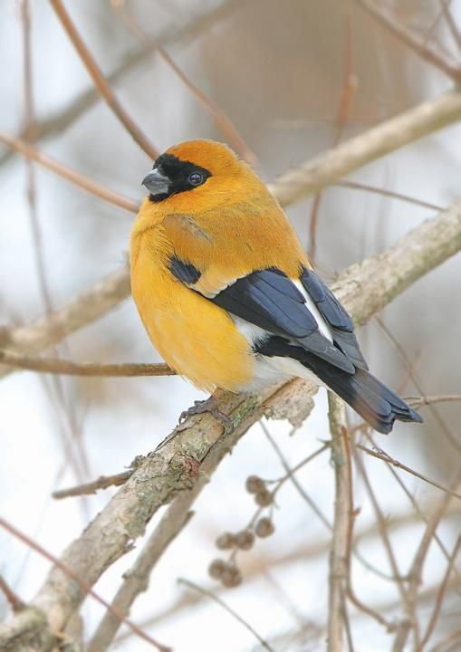 ORANGE BULLFINCH - Pyrrhula aurantiaca . . . India, Pakistan . . . Photo: James Eaton