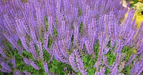 A GUIDE TO NORTHEASTERN GARDENING: Pruning Salvia - A Simple How to