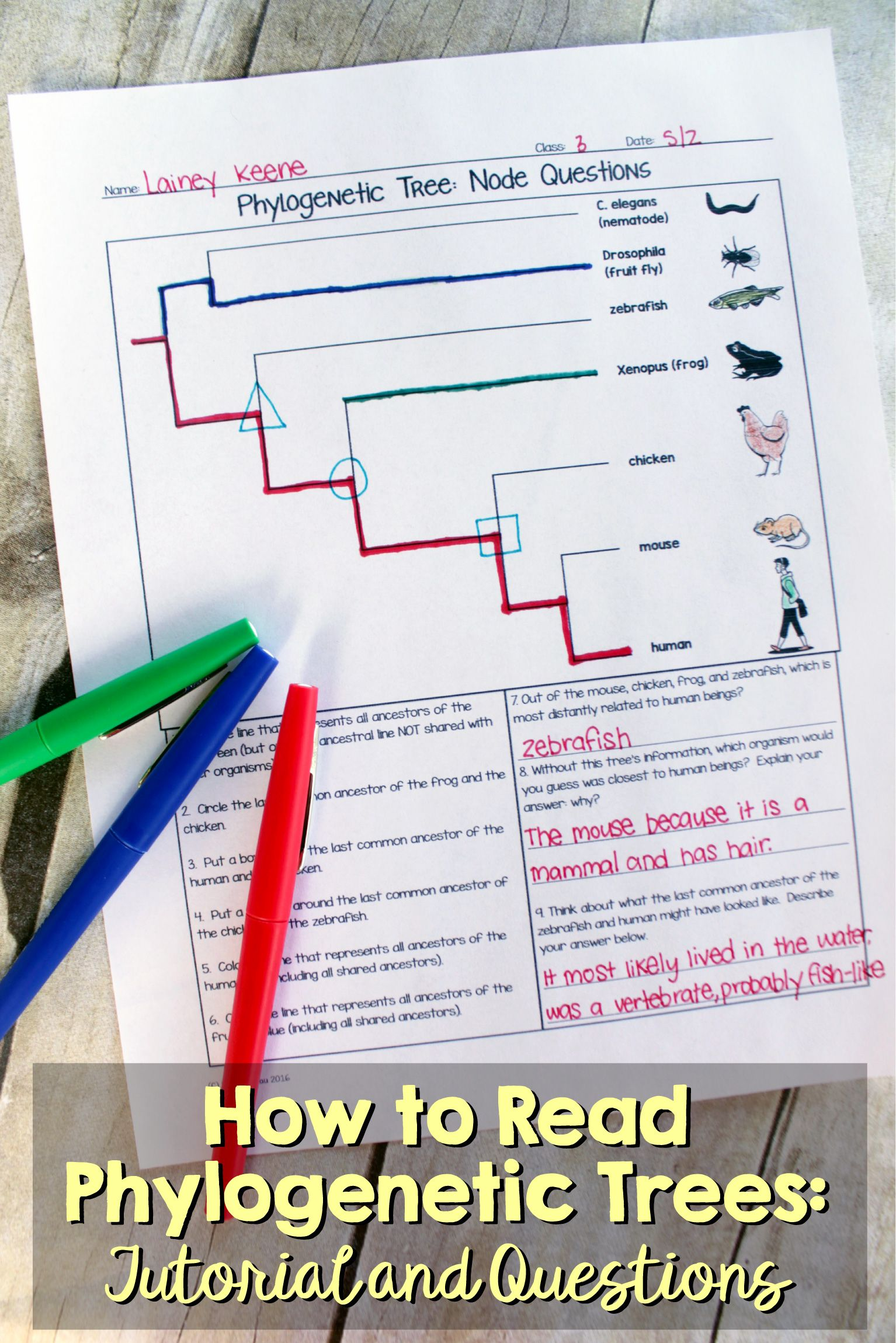 How To Read A Phylogenetic Tree 3 Part Activity