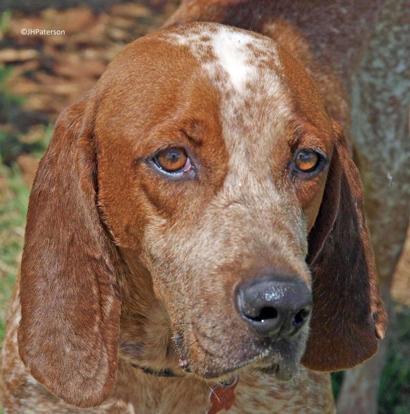 Jax is an adoptable Coonhound searching for a forever family near Scottsdale, AZ.  Jax is a BEAUTIFUL, SWEET Redtick Coonhound that turned in by his owner., They didn't mention why!  Jax is perfect. He is 7 years old and a great age for a busy family. Jax is happy to watch Animal Planet while you are at work or school and then happy to go on those weekend excursions.