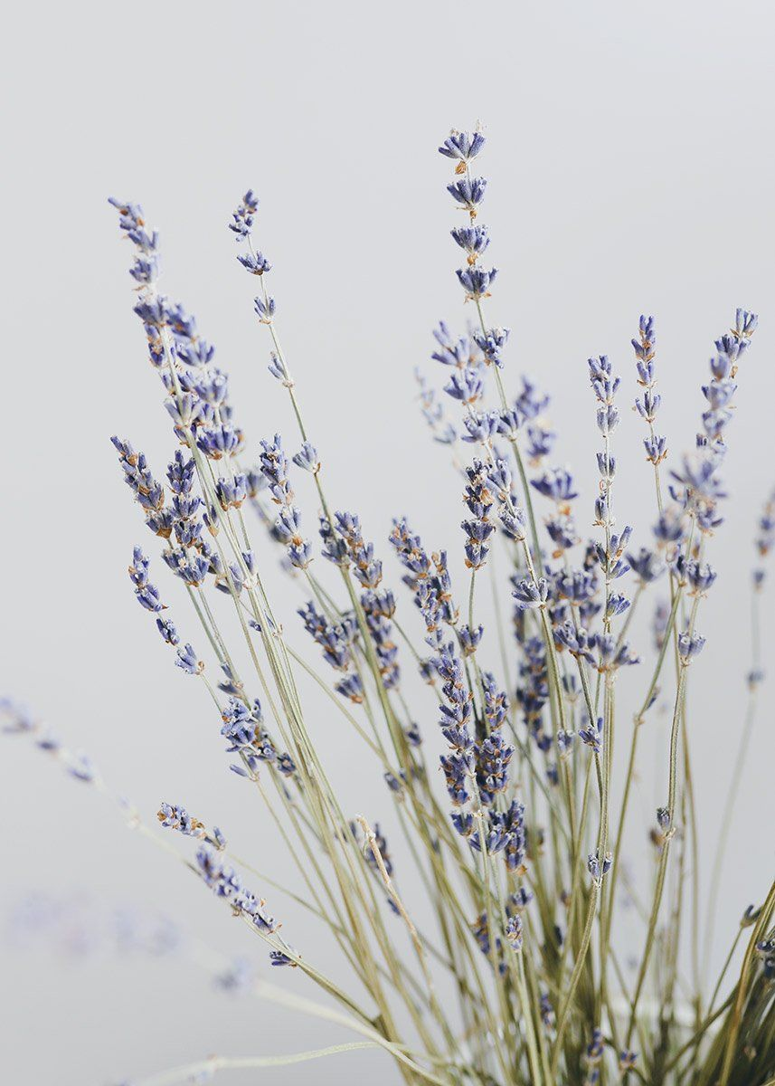 Photo of Natural Dried Lavender Flower Bundle 14″ Tall