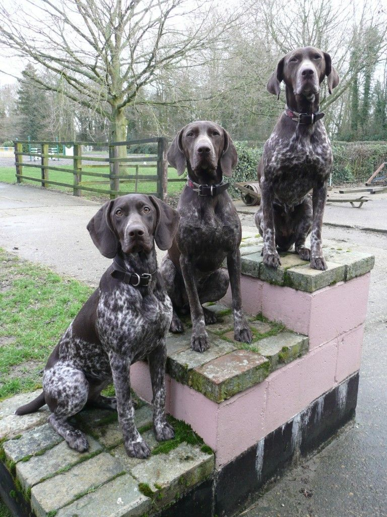 German Shorthaired Poi...