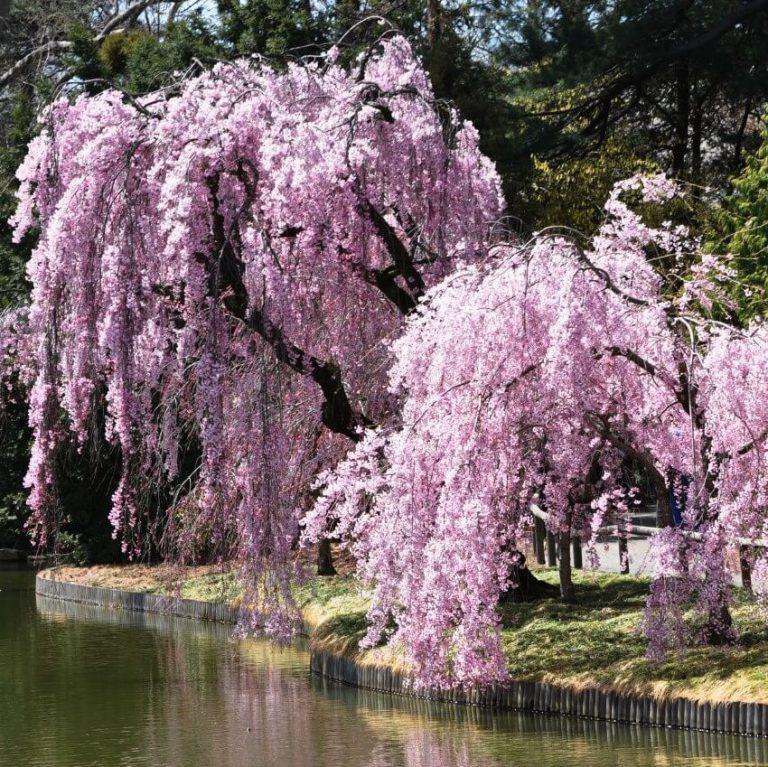 Sakura Tree Seeds Weeping Sakura Tree 10pcs Pack In 2020 Sakura Tree Weeping Cherry Tree Cherry Tree