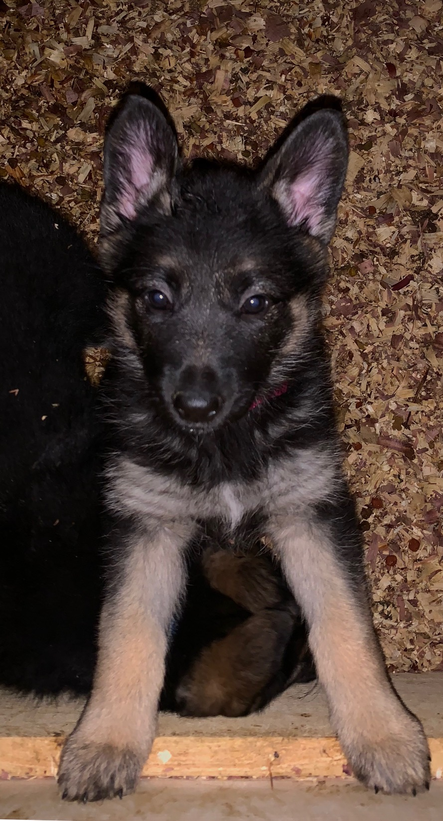Pinky Pie A Female Black Tan Purebred German Shepherd Puppy In