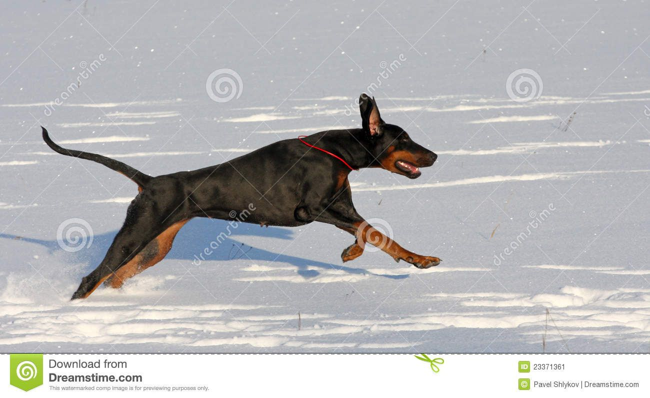 doberman in the snow | Stock Image: Doberman running in deep snow