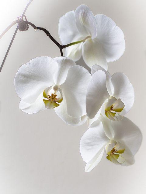 Fiori Orchidea Bianchi.Whie Orchids Whitewash Fiori Orchidea Bellissimi Fiori E