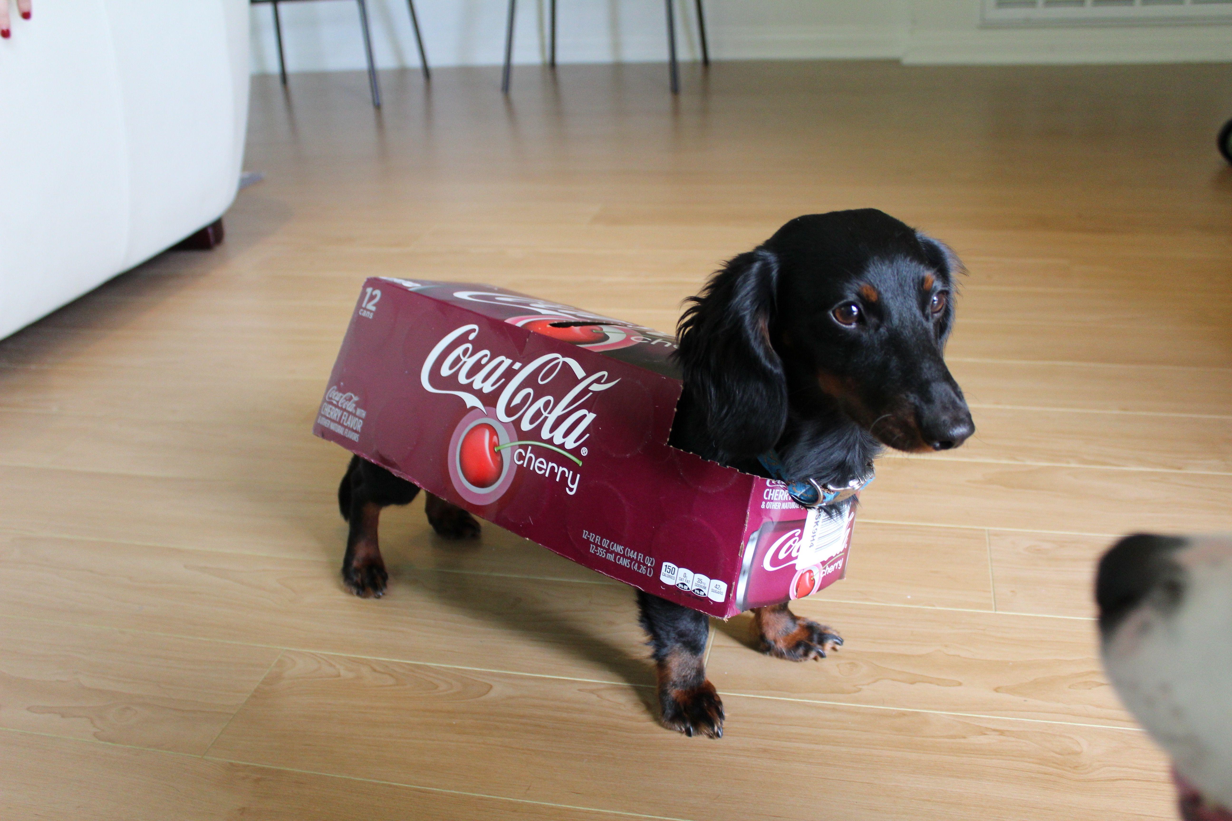 Henry The Hotdog As Coke Dachshund With Images Dachshund