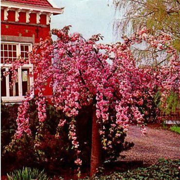Prunus Kiku Shidare Sakura Weeping Cherry Tree Weeping Cherry Tree Beautiful Flowers Garden Johnstown Garden Centre