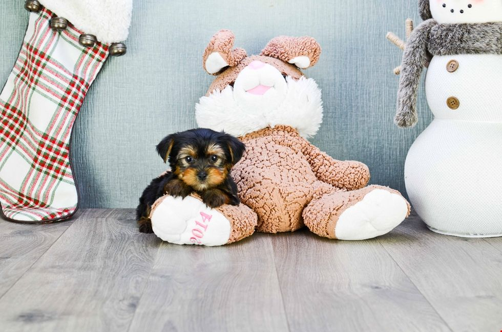 Yorkie Puppies For Sale Teacup Yorkshire Terrier Puppies