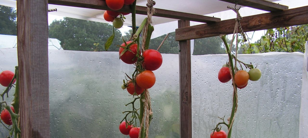 7 Roof Over Sweet Peppers Or Tomatoes 400 x 300