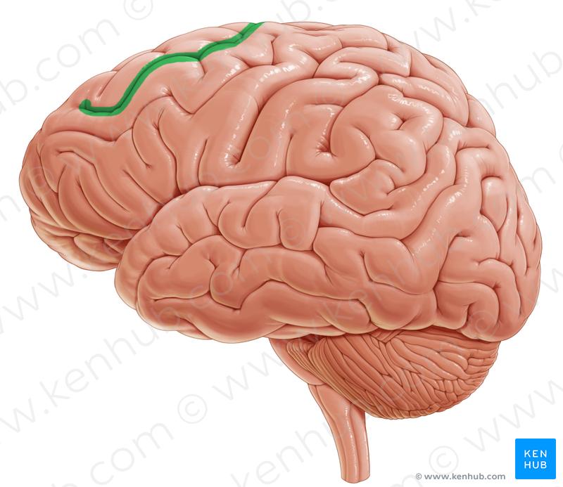 Superior Frontal Sulcus Brainteral