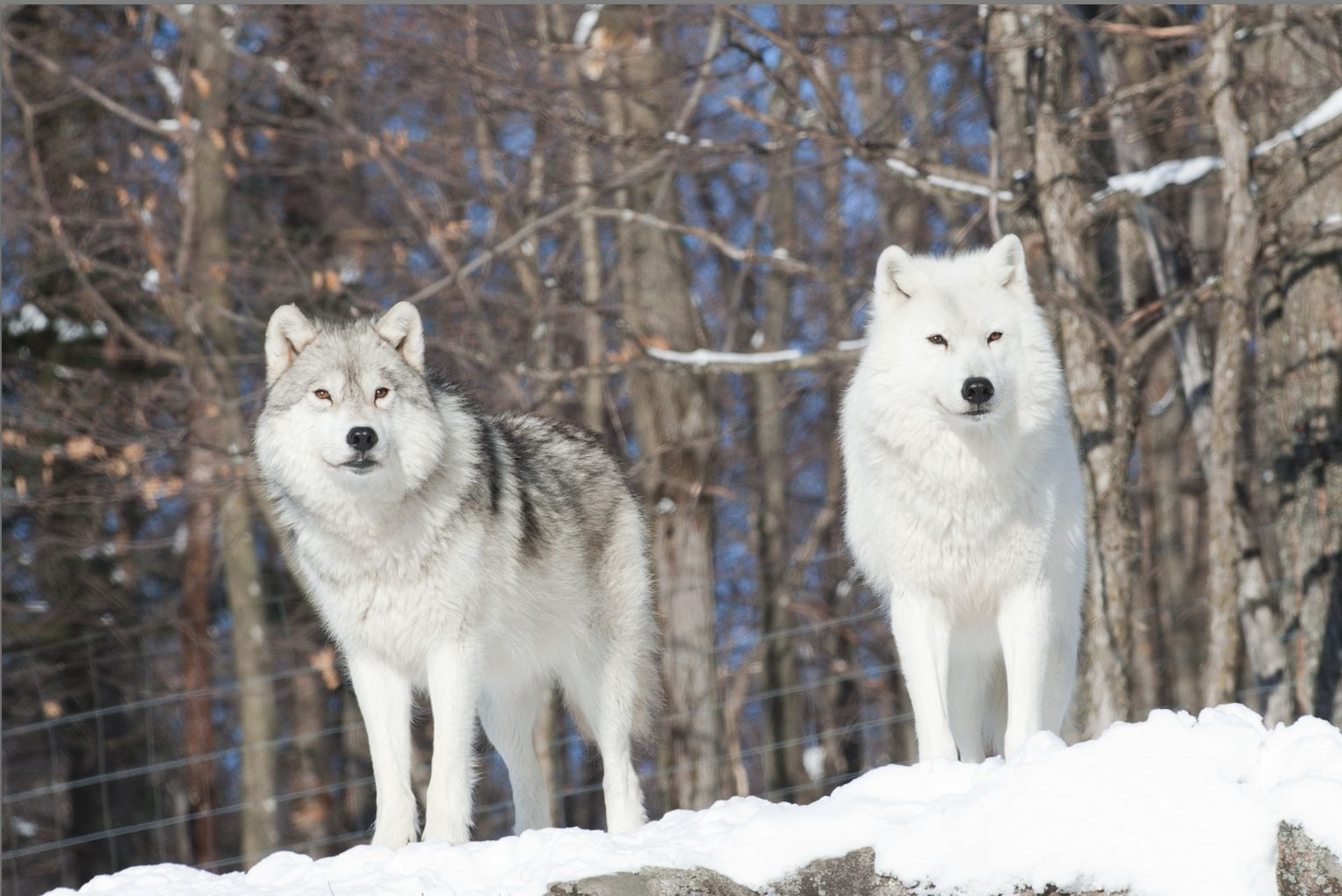 Arctic wolf arctic wolves amazing animals pinterest