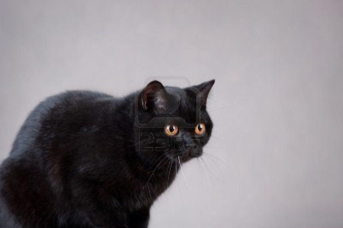 Black British Shorthair British Shorthair Cats British Shorthair Black Cat