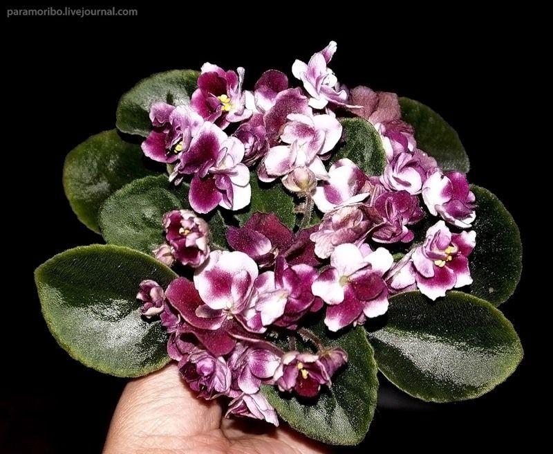 Сенполия ле-весенний букет, цветов