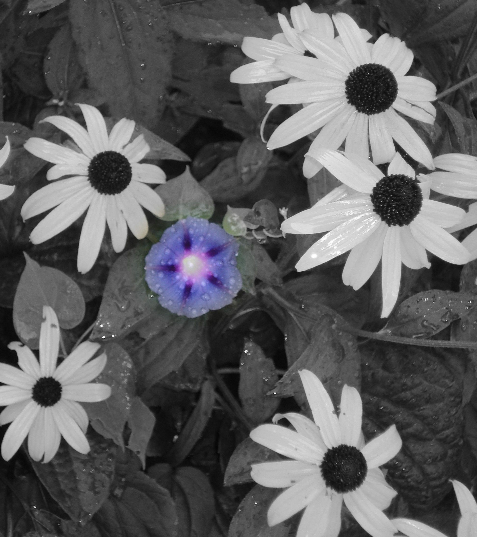 Petunia In Color With Black And White Black Eyed Susans Photo Fun