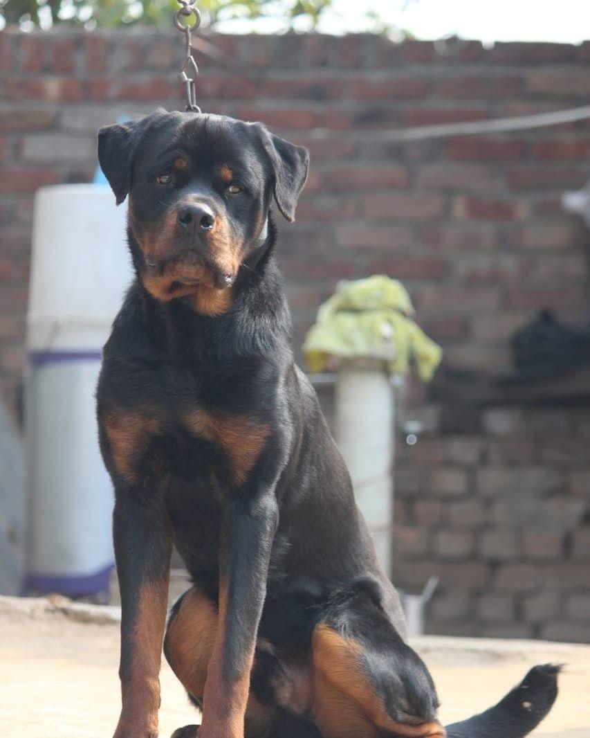 Rottweiler Puppy For Sale In 2020 Rottweiler Rottweiler Puppies Rottweiler Puppies For Sale