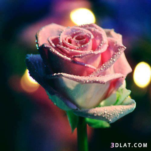 صور جميلة Rose Pictures Beautiful Roses Rose Images