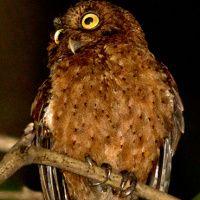 Andaman Scops Owl Image 1