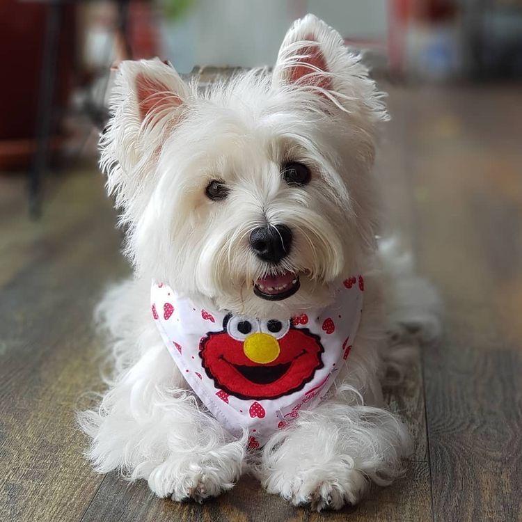 Buy Westie Puppies In New Brunswick Canada