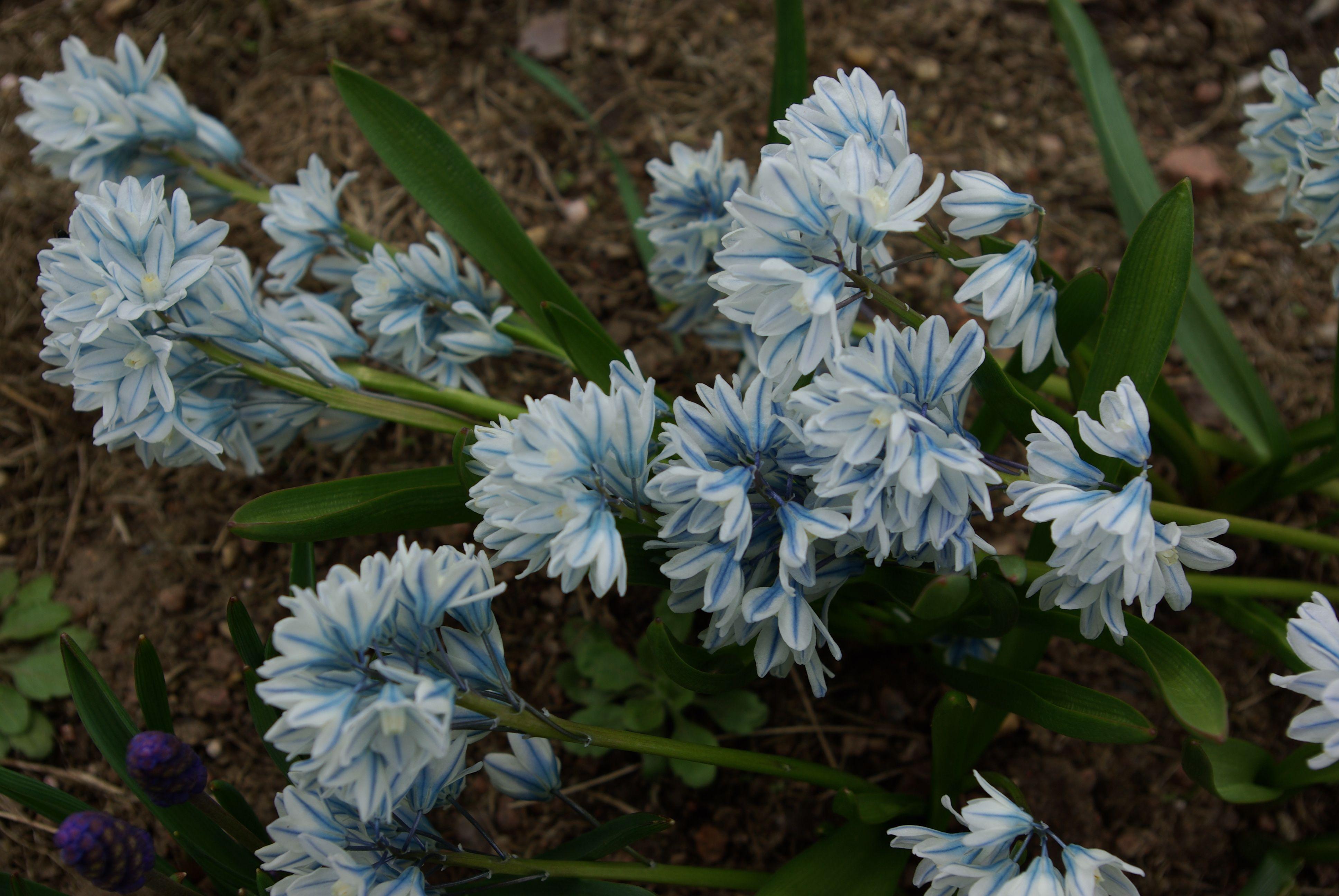 Puschkinia Puschkinien sind wundrschön hellblau weiß blühende Zwiebelblumen Pflanzzeit Herbst Blütezeit