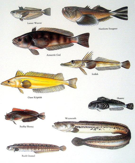 fish print lesser weaver antarctic cod giant kelpfish vintage