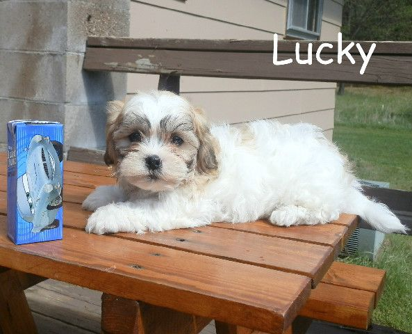 Teddy Bear Puppies For Sale In Wisconsin Tiny And Teacup Teddy