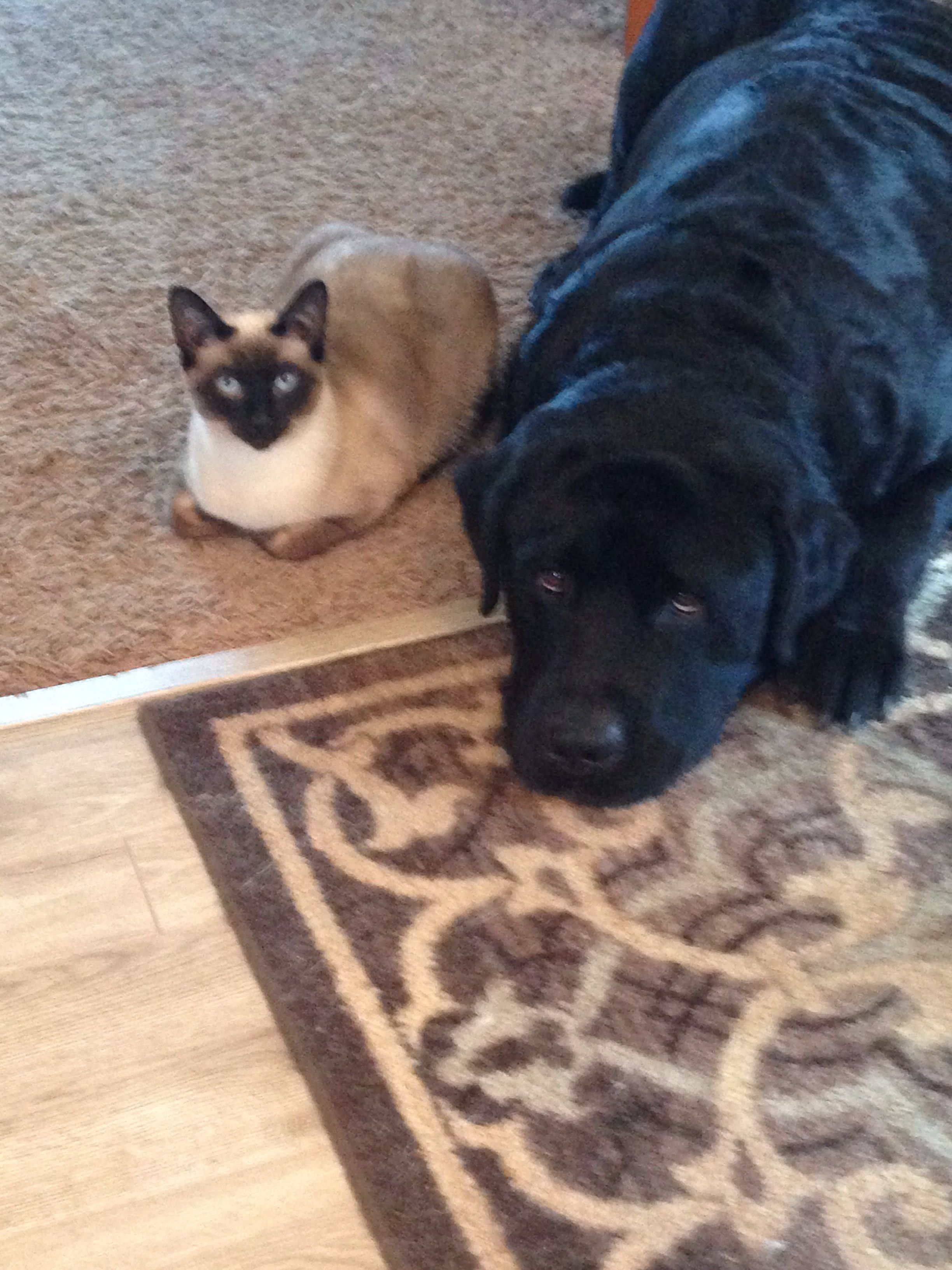 Apple Head Chocolate Point Siamese And English Black Lab Best