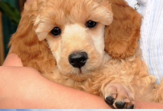 Chester Miniature Apricot Poodle 8 Week Old Puppy Poodle